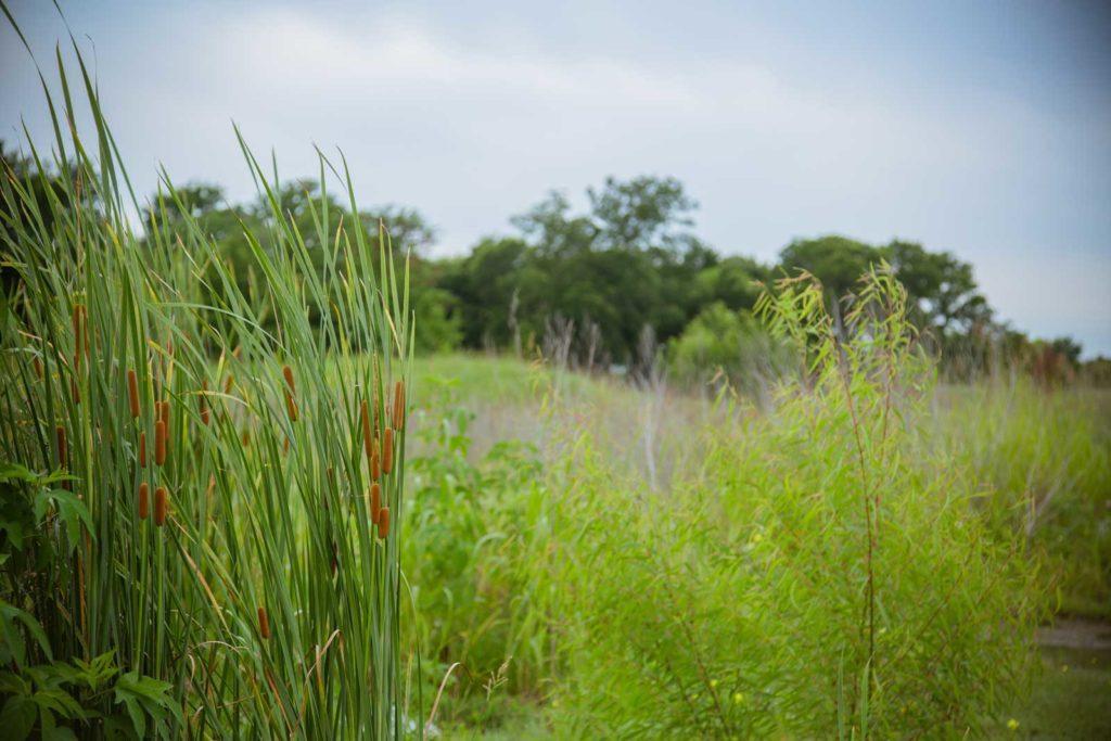 Sonoma Verde Cattails